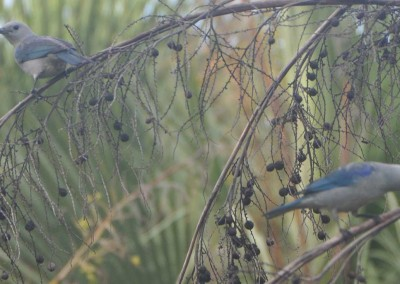 Sabal_Beach_Belize_Blue-Grey_Tanager