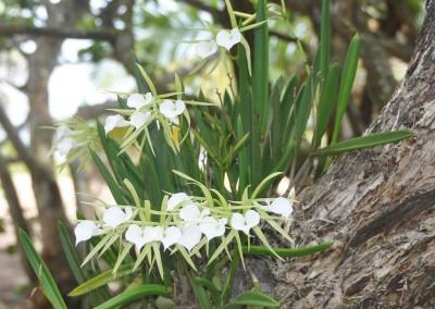 Sabal_Beach_Belize_Brassavola_Orchids