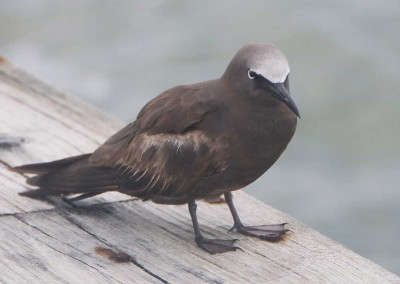 Sabal_Beach_Belize_Brown_Noddy