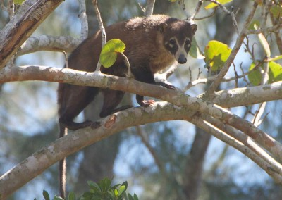 Sabal_Beach_Belize_Coati_Mundi