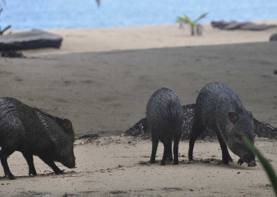 Sabal_Beach_Belize_Collared_Peccary
