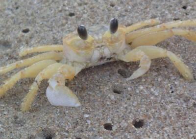 Sabal_Beach_Belize_Facey_Crab