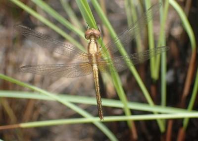 Sabal_Beach_Belize_Golden_Dragonfly
