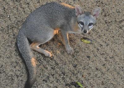 Sabal_Beach_Belize_Grey_Fox