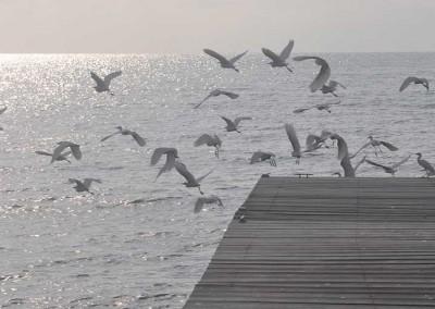 Sabal_Beach_Belize_Ibis3