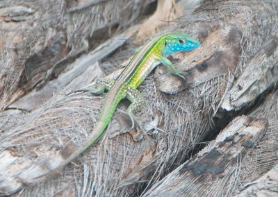 Sabal_Beach_Belize_Lizard_Clr