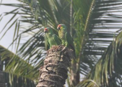 Sabal_Beach_Belize_Parrots