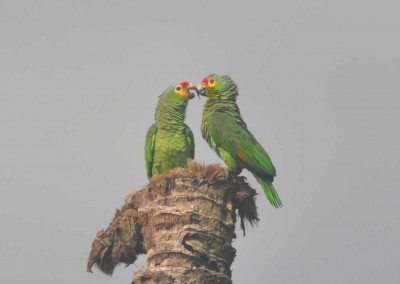 Sabal_Beach_Belize_ParrotsT