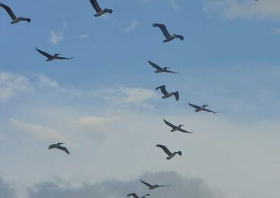 Sabal_Beach_Belize_Pelicans