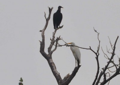 Sabal_Beach_Belize_Vulture_Egret