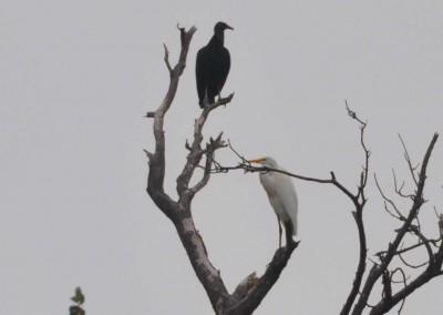 Sabal_Beach_Belize_Vulture_Egret