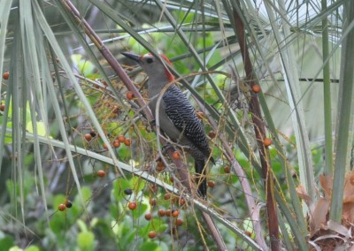 Sabal_Beach_Belize_Woodpecker