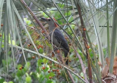 Sabal_Beach_Belize_Woodpecker