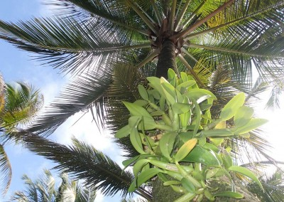 Sabal_Beach_Orchids_On_Palm